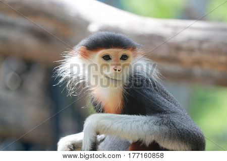 The macaque of Asiaconcept of endangered species.