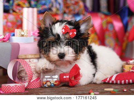 Beaver Yorkshire Terrier Puppy