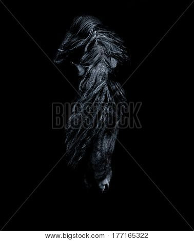 Stallion of the Frisian breed bent its head to the ground