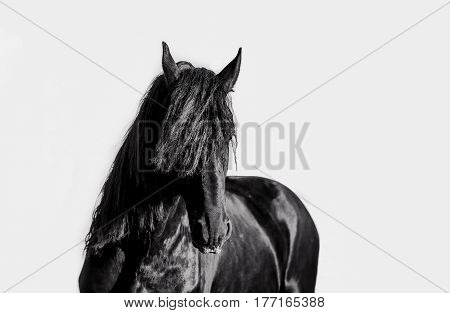 Stallion of the Frisian breed posing for a portrait