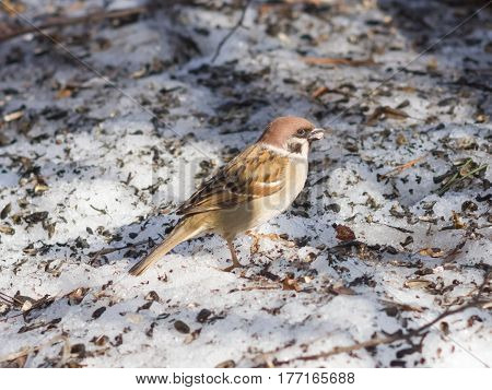 Eurasian Tree Sparrow Passer montanus close-up portrait on ground selective focus shallow DOF.