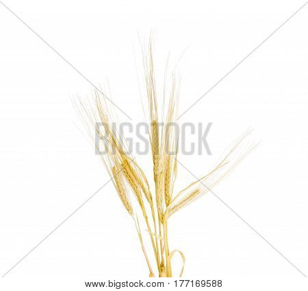 Bundle of the stalks of the ripe barley with ears and leaves on a light background