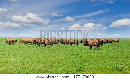 Small herd of the American bisons in the spring steppe covered by grass in the nature reserve against the background of the sky with clouds