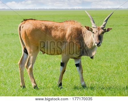 Bull of the eland antelope in steppe of the nature reserve Askania-Nova in the spring