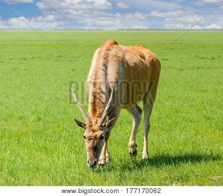 Grazing eland antelope in steppe of the nature reserve Askania-Nova in the spring