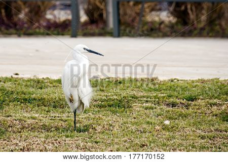 Snowy Egret Standing On One Leg