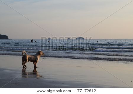 Travel to island Koh Chang, Thailand. A dog on the sunset beach.