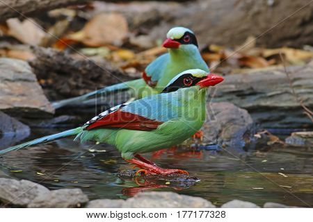Common green magpie Cissa chinensis Birds Eating Water in Pond