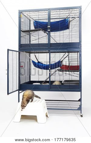 Ferrets eating and enjoying their home in two floor cage