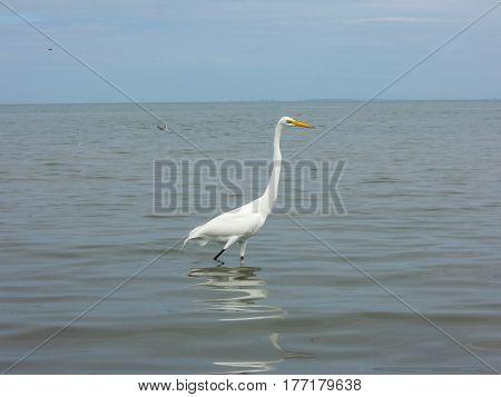 Egret At The Coast Of Livingston