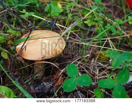 annulated boletus mushroom growing in pine forest