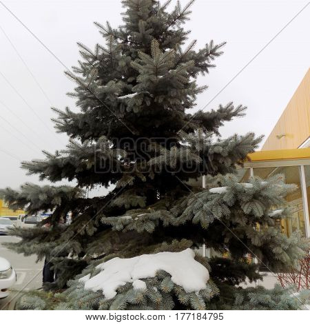 Blue spruce and spruce branches in the snow