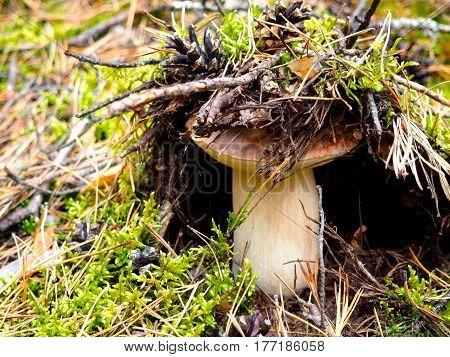 Wild organic white mushroom in the forest camouflage. Bolete, boletus, cep, cepe, porcini