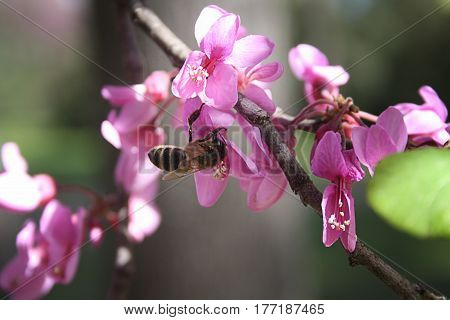 a bee collects nectar from a beautiful pink flower