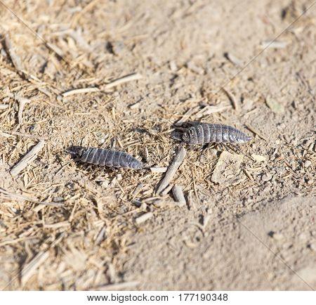 woodlouse beetle in nature. macro . A photo