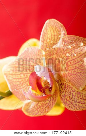 Yellow And Red Orchid Macro With Water Drops. Phalaenopsis. Close Up. Spring...