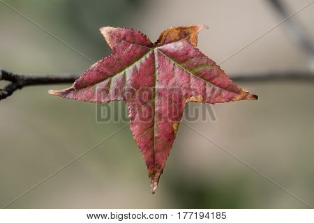 Single red autumn/fall leaf hanging from a branch