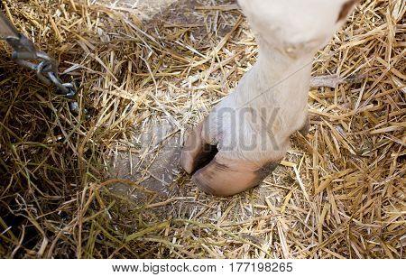 Cow's Hoof On Straw