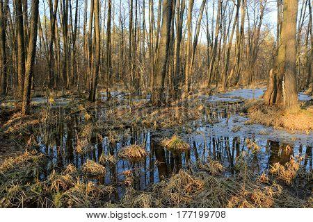 scene with bog in spring forest
