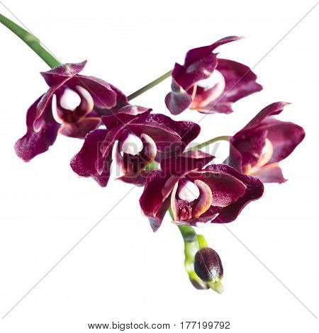 blooming twig of unusual beautiful dark cherry orchid phalaenopsis is isolated on white background