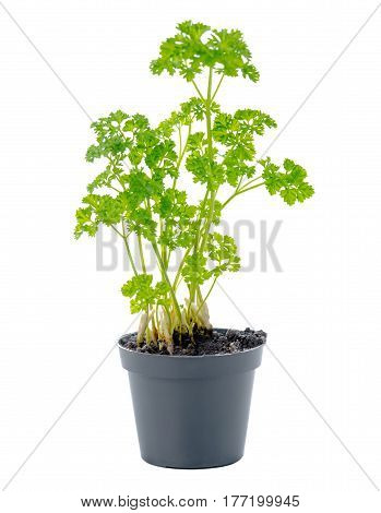 Young Seedling Of Fresh Green Parsley Leaves In Black Flower Pot Is Isolated On White Background, Cl