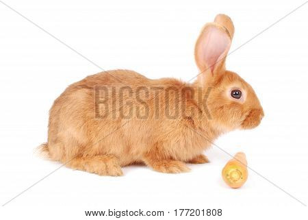 Little orange rabbit eating a carrot isolated on white background