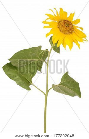 Beautiful yellow sunflower facing to the right isolated on white