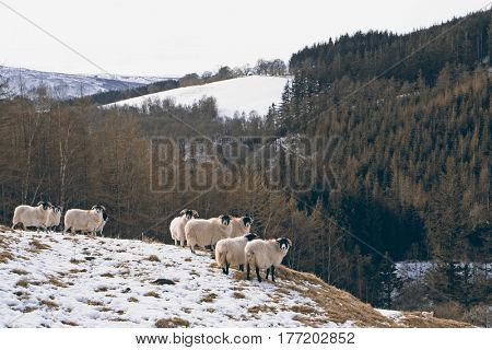 Sheep at Gen Tilt, Perthshire, Scottish Highlands