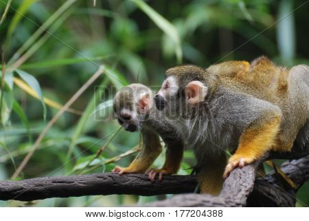 Mom teaching a baby squirrel monkey how to climb on a vine.