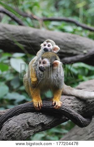 Really cute baby squirrel monkey on it's mother's back.