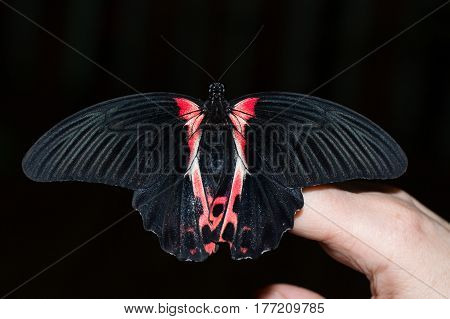The tropics butterfly Papilio Anchisiades on hand fingers