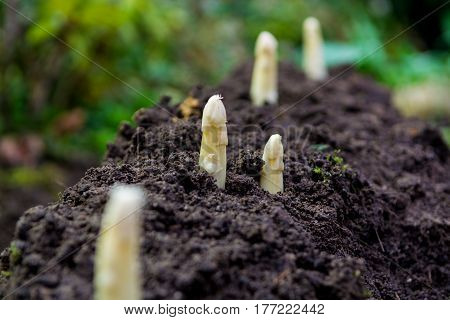 Young and fresh white asparagus - spring growth on cultivated fields organic farm in the Netherlands