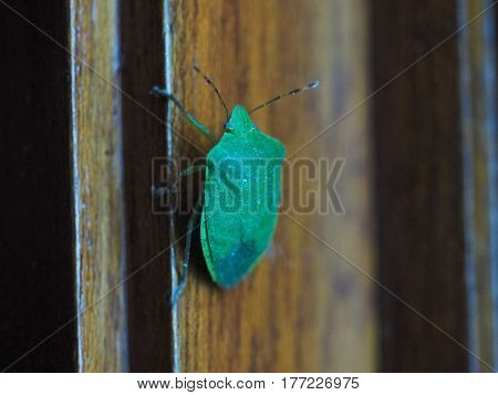 Green Shield Bug Insect Animal