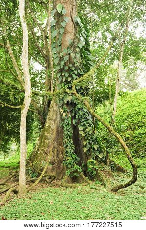 Tropical Tree On The Forest Of Quirigua