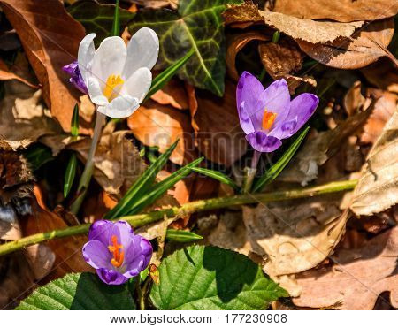 Purple Crocus Flowers In Forest