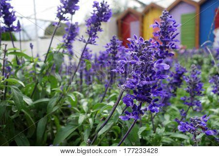 Blooming Blue Bugleweeds Ajuga