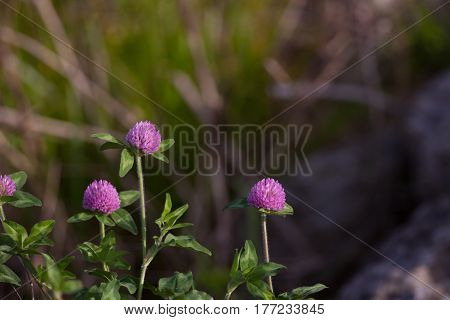 Red Clover (Trifolium pratense) with copy space background