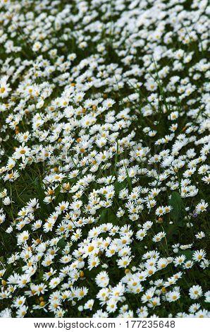 Wild Daisies Field Perspective