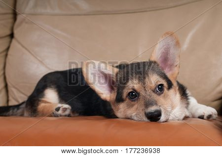 Pembroke Welsh Corgi portrait on beige sofa at home with sadly head down
