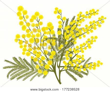 Hand-drawn branch of mimosa isolated on white background. A good idea for your design, poster, greeting card, web banner. Vector illustration