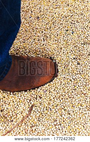 Foot of a man stepping on a bunch of soybeans. Man using jeans and boot.