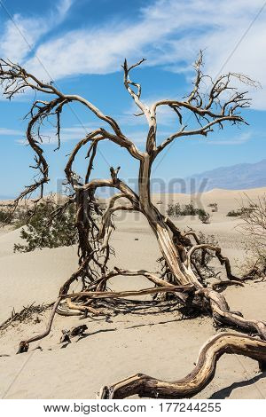 The dead tree on the sand dunes in Death Valley National Park, California