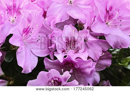 close up of some pink lilies in spring