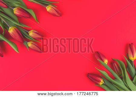 Spring flowers tulips frame on red background. Top view. Copy space for text