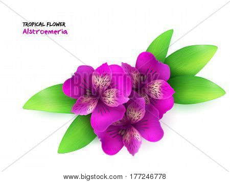 vector illustration of isolated realistic tropical blooming alstroemeria flower with leaves.
