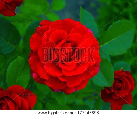 Roses flowers it is isolated a holiday. roses. Roses flowers