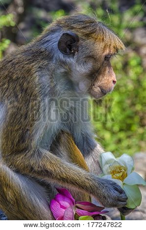 Golden temple in Dambulla monkey.Wild monkeys.Temples in Asia.Buddhist monument in Sri Lanka.Monkey holding a flower.Medieval capital of Ceylon.