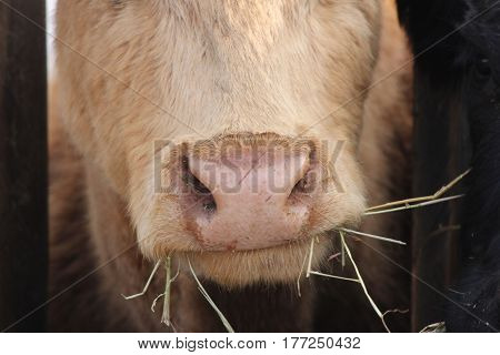 Cow with head between wooden struts of fence on holding pen, nose, mouth.
