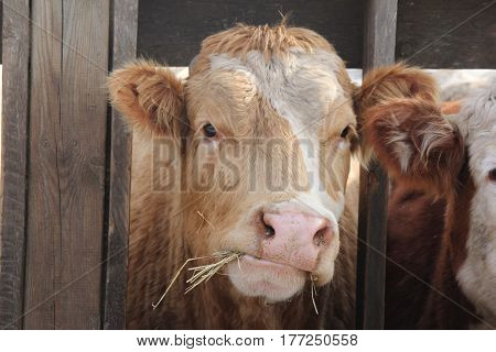 Cow with head between wooden struts of fence on holding pen, mouth full of straw
