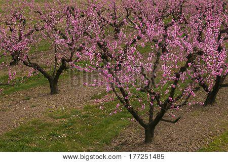 Peach trees during the flowering, Emilia-Romagna, Italy